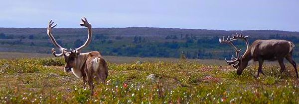 Arviat caribou in summer