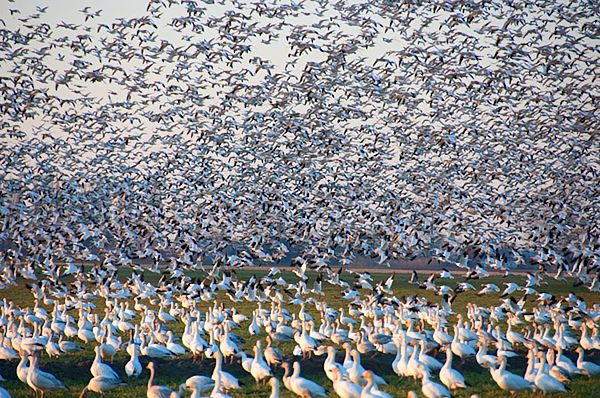 Arviat Snow Geese Migration